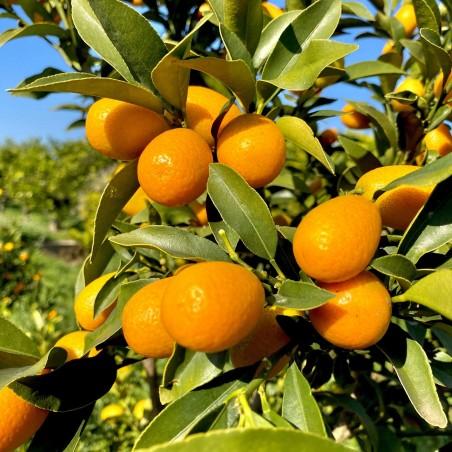Kumquat  - Fortunella 1 kg