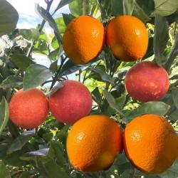 Oranges Table 5 kg, red Chalk 5 kg - 10 Kg