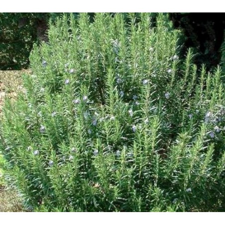 Rosemary honey 500 g