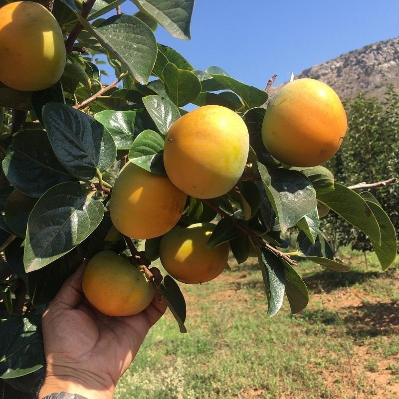 Khaki variety Maxim 5 kg (from conversion to Organic Farming)