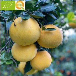 Grapefruit Yellow Green 5 kg