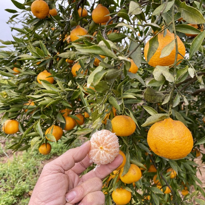Tangerine aromatic variety Commune 1 kg NOT AVAILABLE