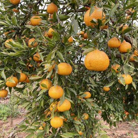 Mandarina aromatica variedad Comuna 1 kg NO DISPONIBLE