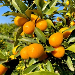 Kumquat Organic 1 kg