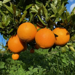 Naranjas Ecológicas de Zumo 15 kg