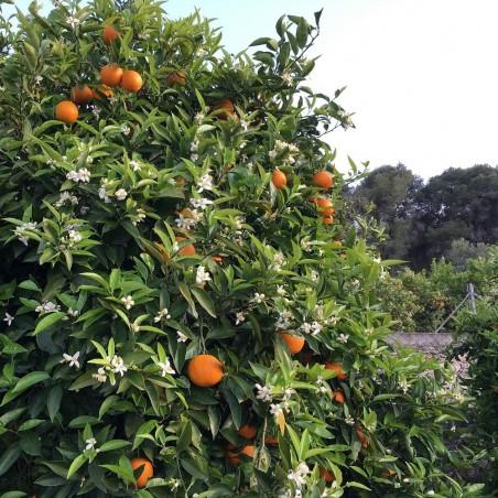 Oranges Table 10 kg