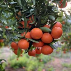 Mandarins 5 kg (ORRI)