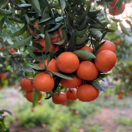 Organic Tangerines 5 kg
