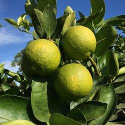 Limes 1 kg