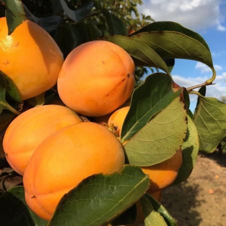 Organic Tangerines 7 kg, Organic Khakis 3 kg (10 Kg)