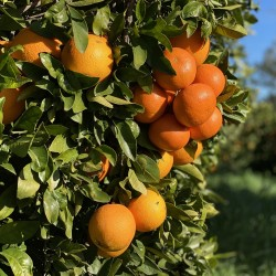 Naranjas de Zumo 7 kg, Mandarinas 3 kg  (10 Kg)