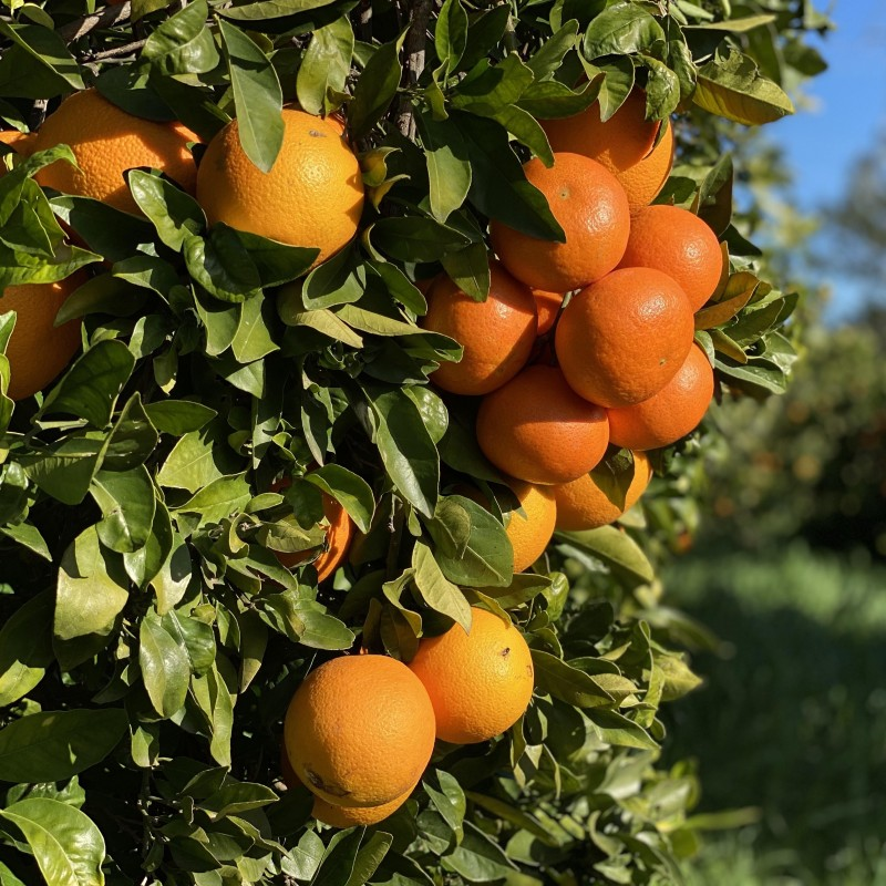 Naranjas de Zumo Ecológicas 7 kg, Mandarinas Ecológicas 3 kg - 10 kg