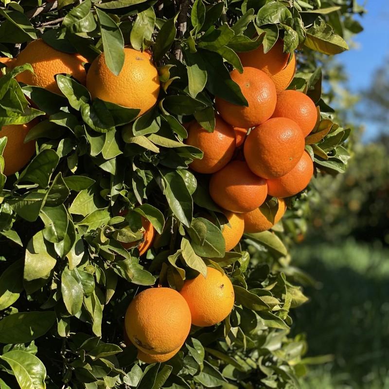 Oranges Bio pour faire du jus 7 kg, Mandarines Bio 3 kg -10 Kg