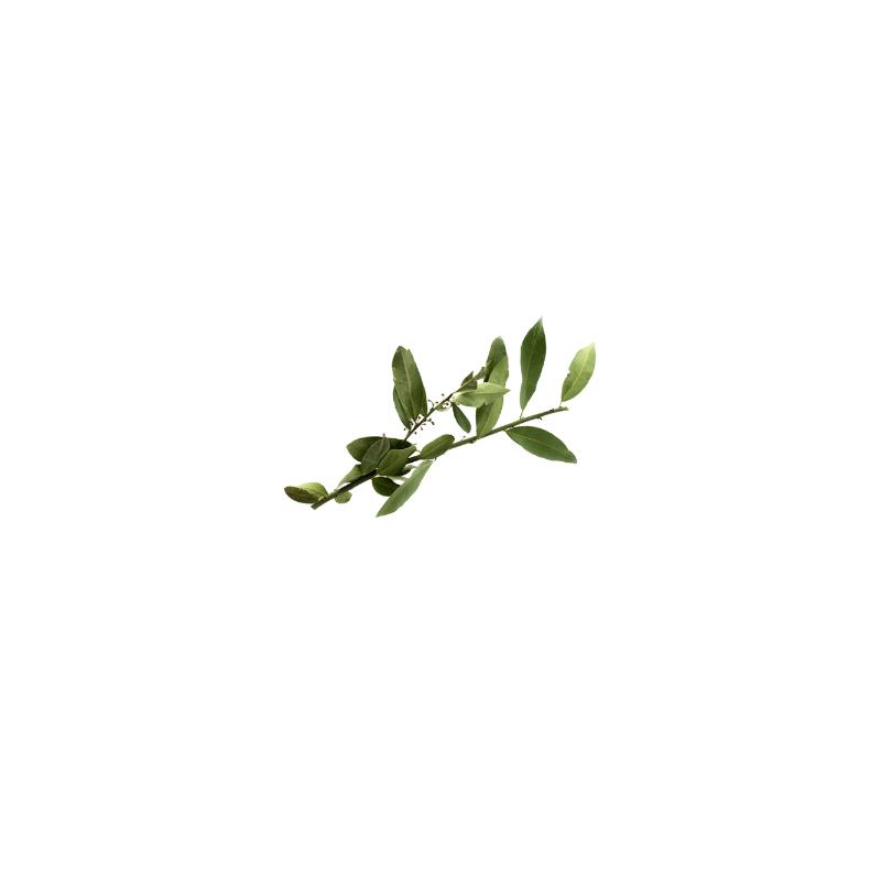 Ramillete de Hojas de Laurel ecológicas frescas.