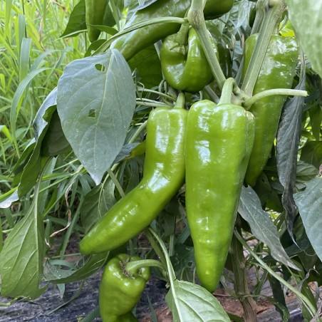 Pimientos verdes Ecológicos 1 kg