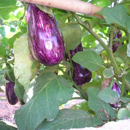 Organic Eggplants and Green Peppers 5 Kg (beren y pimi)