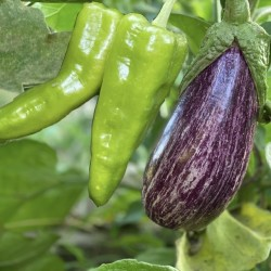 Organic Eggplants and Green...