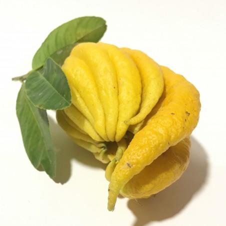 Organic Hand of the Buddha  1 fruit