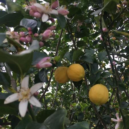 Limones 1 kg