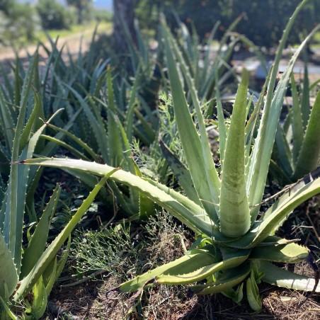 Organic Aloe vera - 1 leaves