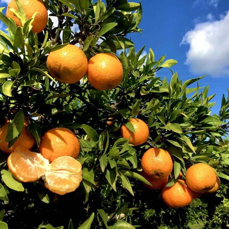 Mandarinas Ecológicas 5 kg (variedad clemenrubi)