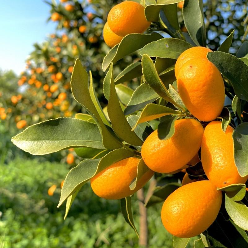 Organic Kumquats 1 kg