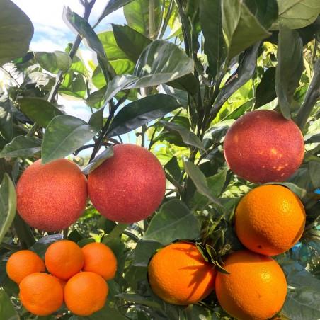 Orange Juice 14 kg, Blood 3 kg, Mandarins 3 kg - 20 Kg