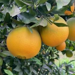 Naranjas Convencionales de Mesa 20 kg