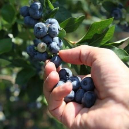 Organic Blueberry Jam mit Agave 265 g (arandano agave)