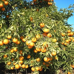 Mandarinas Ecológicas Baratas y Mini - 10 Kg