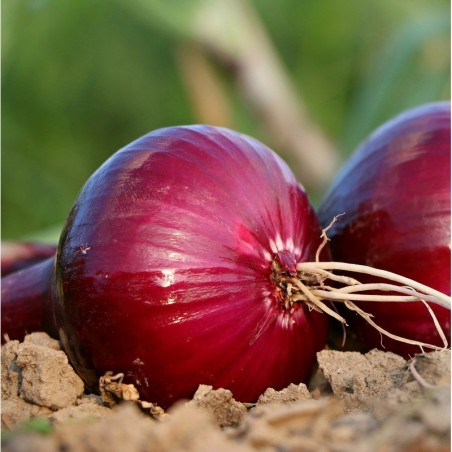 Oignon Bio Rouge 5 kg (cebolla morada)