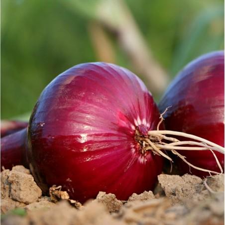 Organic Red Onion 5 kg (cebolla morada)