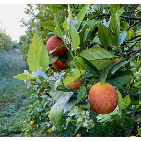 Naranja Sanguina 10 Kg