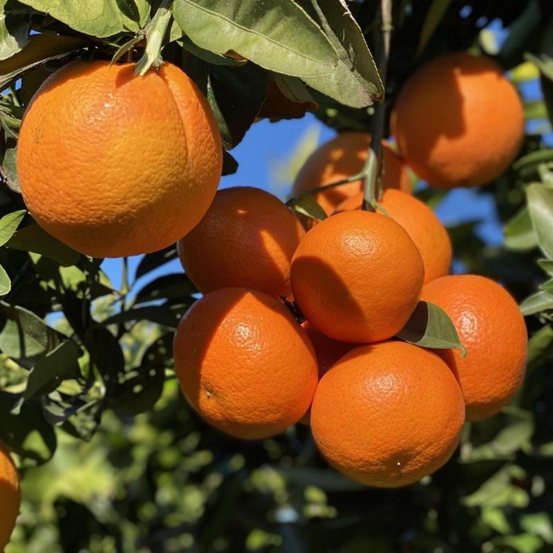Organic Oranges Table 15 kg, Tangerines 5 kg (20 Kg)