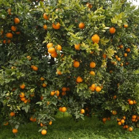 Naranjas Ecológicas de Mesa 15 kg, Mandarinas 5 kg (20 Kg)