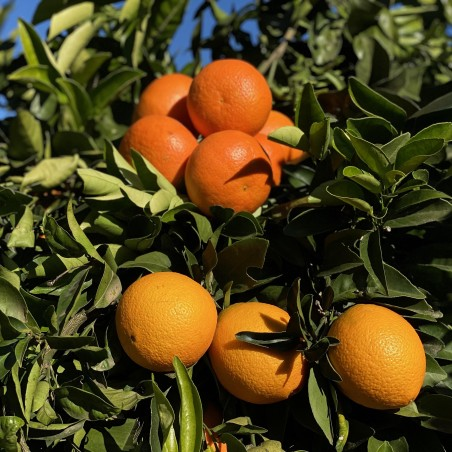 Bio-Saftorangen 15 kg, Mandarinen 5 kg (insgesamt 20 kg)