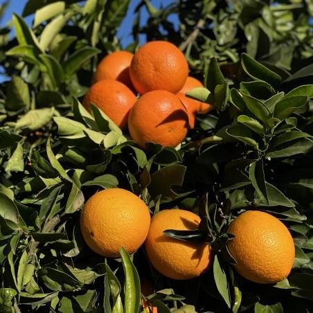 Naranjas Ecológicas de Zumo 15 kg, Mandarinas 5 kg  (20 Kg)