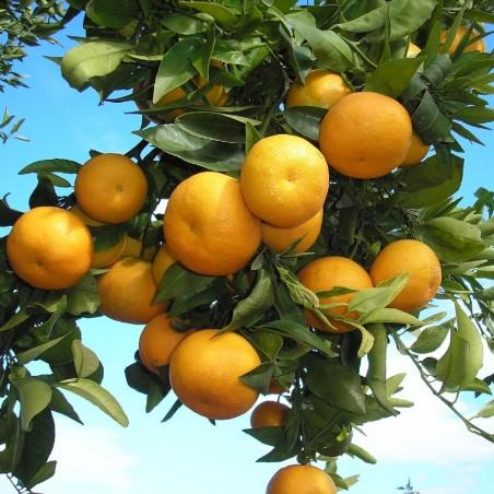 Bio-Saftorangen 10 kg, Mandarinen 5 kg (insgesamt 15 kg)