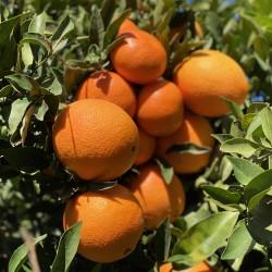 Oranges Table 7 kg, Tangerines to 3 kg (10 Kg)
