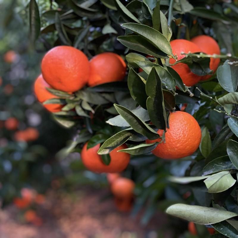 Mandarinas 15 kg
