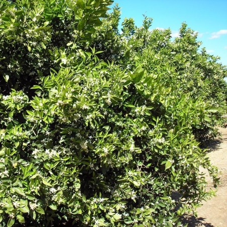 Bio-Flor de azahar Ecológica -- 35 g