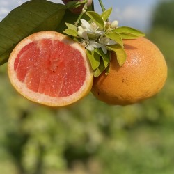 Gift Bio-Grapefruit Star...
