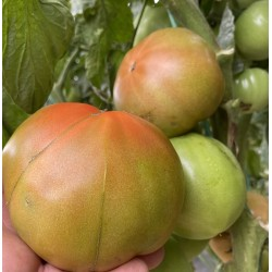 Tomatoes 5 kg (from...