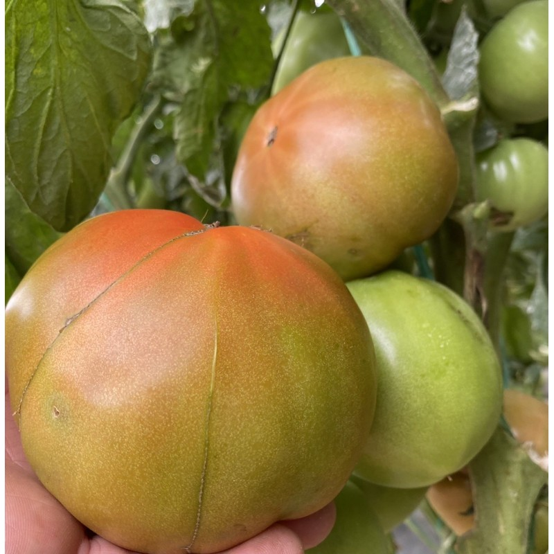 Tomatoes 5 kg (from conversion to Organic Farming)