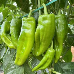 Green Peppers 1 kg (from...
