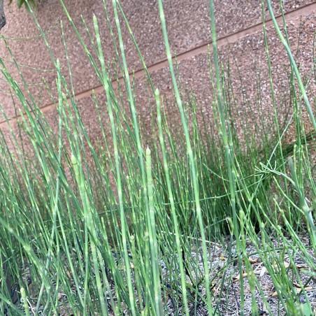 Organic Horsetail chopped plant 50 g (cola de caballo)