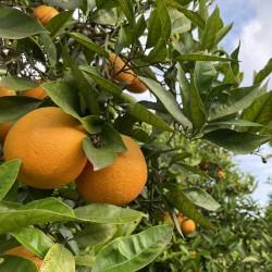 Bio-Orangenblätter-Blätter...