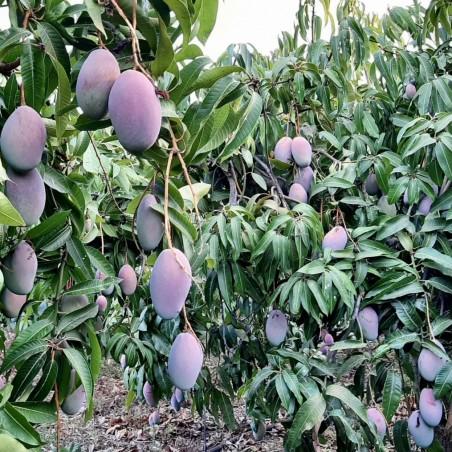 Mango Ecológico de España - 1 fruta (400-500 g)