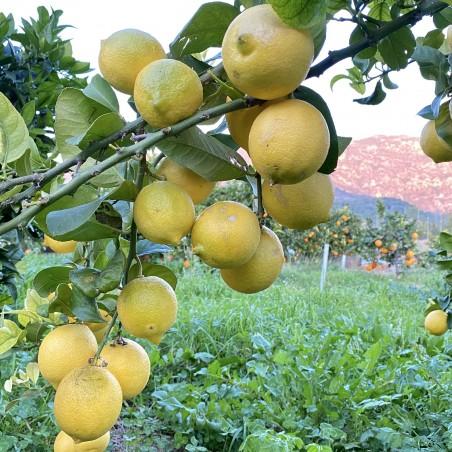 Pamplemousse et Citrons écologiques 5 Kg  (limones y pomelos)