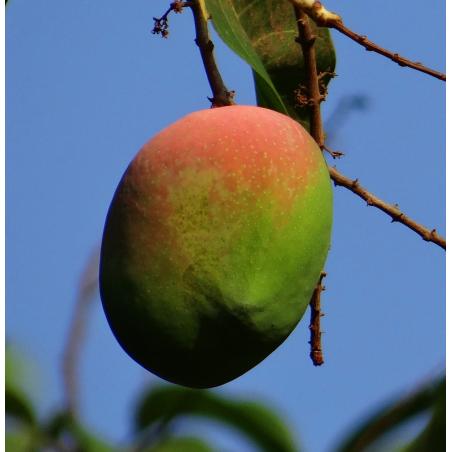 Organic Fruits Mangoes, Apples 5 kg (Mangos y Manzanas)